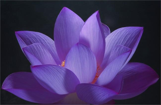 lotosas BAHMAN FARZAD