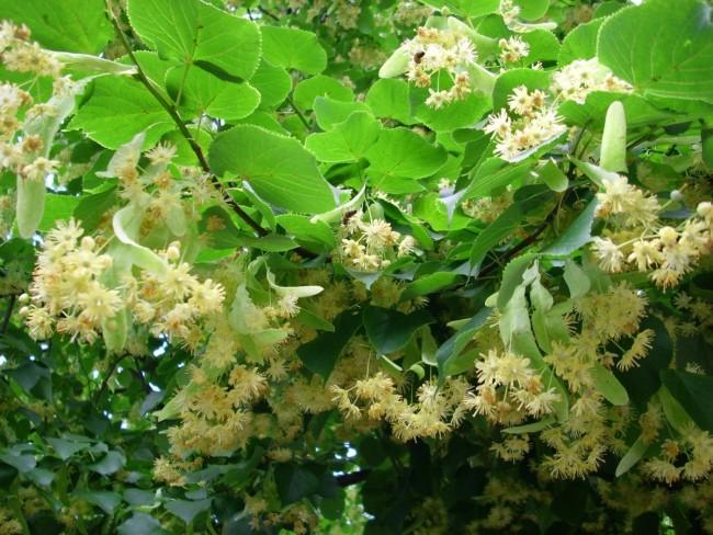 liepos-ziedai