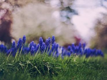 pavasaris, ziedai